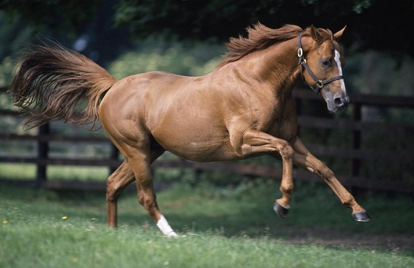 Jumping thoroughbred horse