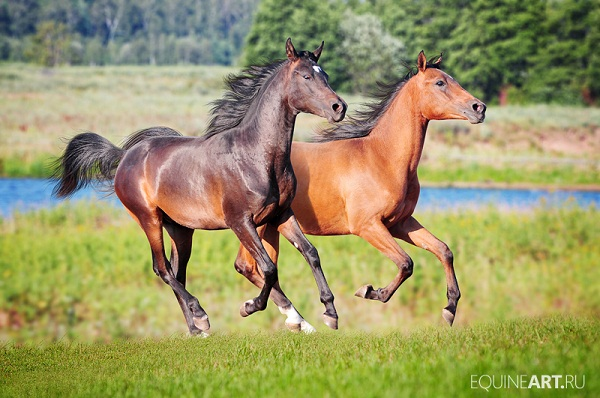 Two stunning arabian horses running