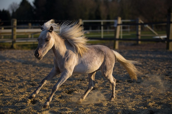 Adorable white miniature horse running in stable