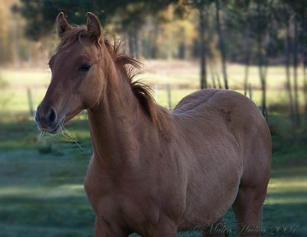 American quarter horse gazing
