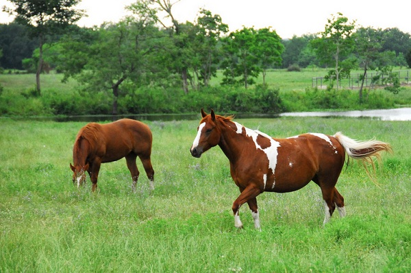 Paint horses in lush green field